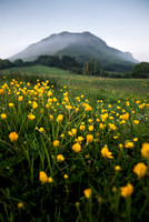 A bunch of buttercups at the foot of Copes Mountain in Sligo